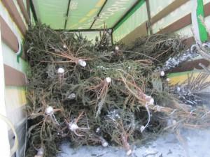 Утилизация новогодних деревьев «Елочный круговорот»
