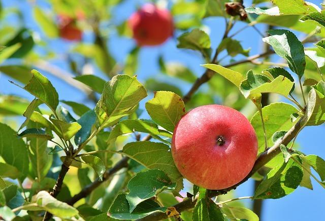 яблоко, яблоня, яблоневый сад