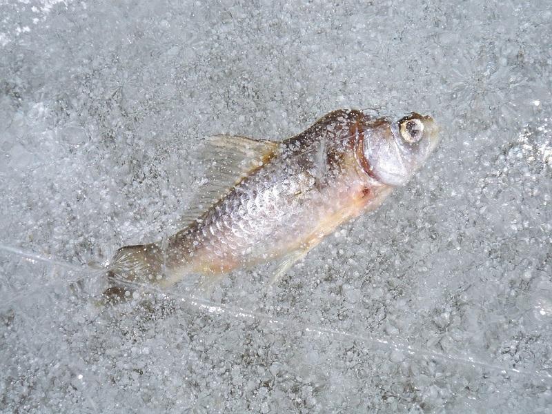 рыба, зимняя рыбалка, пиксибэй, лед, 0702