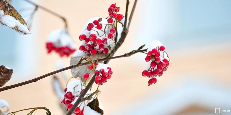 рябина, зима, дерево, мосру, 0702