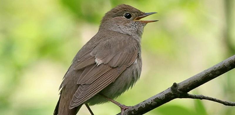 соловей, птица, мосру, 09071