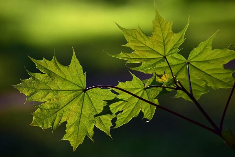 клен, дерево, пиксибей, 0708