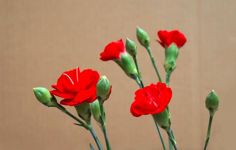 гвоздики победа цветы пиксабай 0705